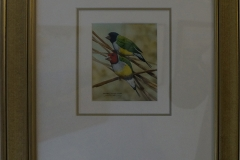 Rainbow-gouldian-finches-