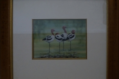Red-necked-avocet-